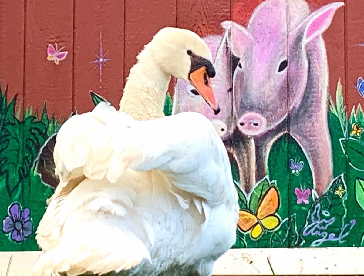 Noah the Swan