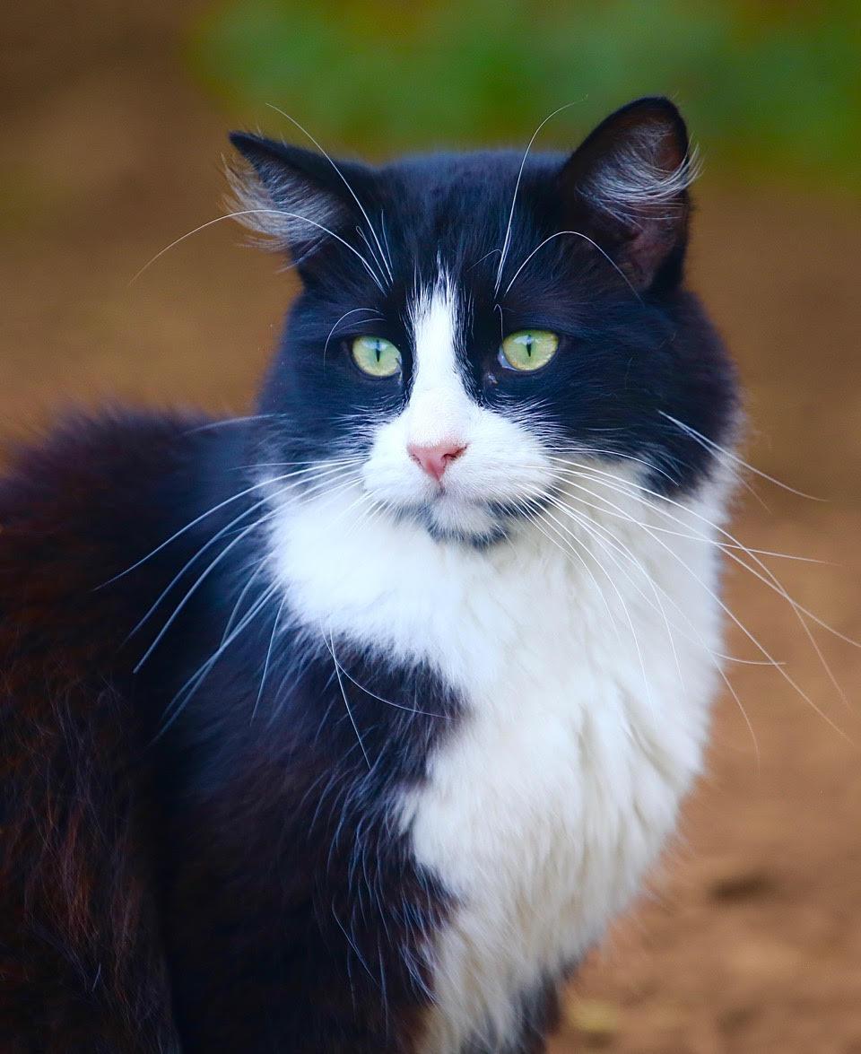 adopt a cat maui leilani farm sanctuary